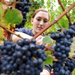 """С богата реколта от перлово грозде """"Винпром Карнобат"""" изпревари всички и пръв започна гроздобера"""